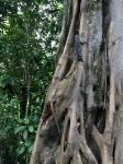 Iguana in CostaRica