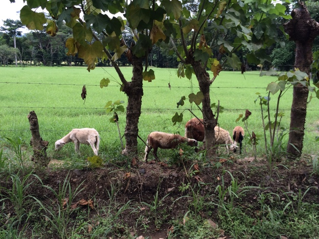Sheep farm between Jaco and Quepo