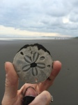 Sand Dollar found on Esterillo Beach, CostaRica