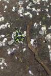 Poison Dart Frog, CostaRica
