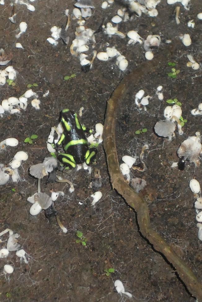 Poison Dart Frog, Costa Rica